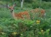 Deer20090813